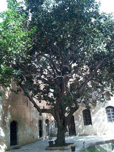 حماة شجرة المانوليا